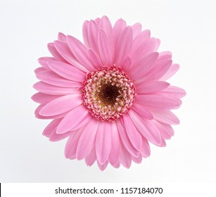 Close-up of pink flower isolated on white background