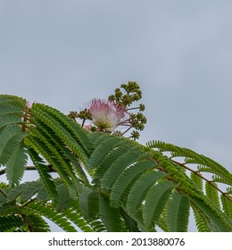 Close-up of the pink flowers of an Albizia Julibrissin.