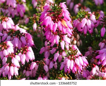 Closeup of pink flowers on a heather plant, Erica carnea, variety December Red