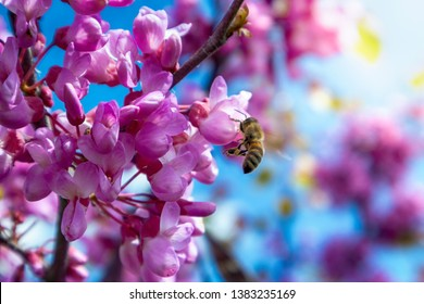 A close-up of pink flowers on Judas tree with bees working and sun shining brightly in spring, in soft focus in the background. - Image