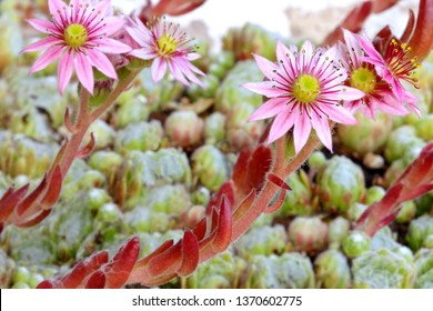 Closeup of Pink flowers on small succulent plant named Hen and Chicks
