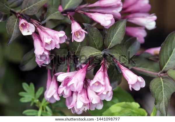 Closeup Pink Flowers Purple Leaves Hardy Stock Photo Edit Now