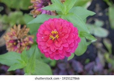 Close-up pink flowers of zinnia elegans, common zinnia. Floral background.