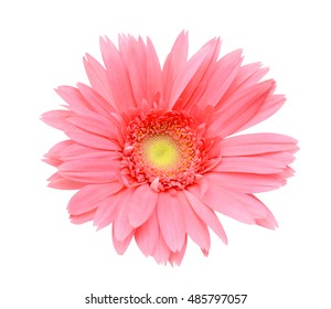 Closeup of Pink gerbera flower isolated on white background