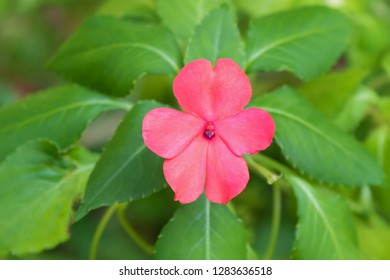 Closeup pink Impatiens flower growing at Fraser's hill, Malaysia, Asia
