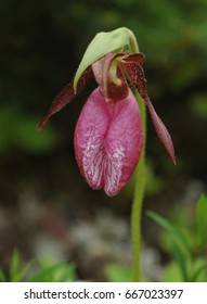 Close-up of a pink lady's-slipper orchid flower