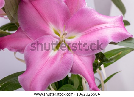 Closeup Pink Liles Flowers Common Names Stock Photo Edit Now