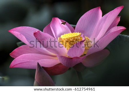 Closeup pink lotus flower malaysia pink stock photo edit now close up of the pink lotus flower in malaysia the pink lotus represents the mightylinksfo