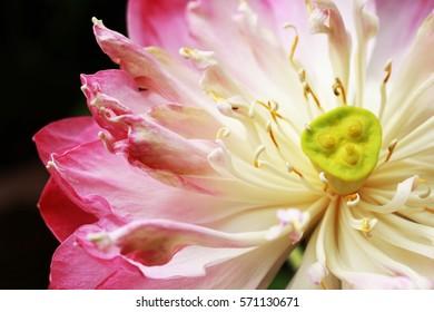 Closeup pink lotus petals and stamens.