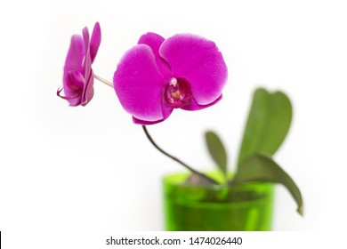 Closeup of pink orchid flowers blossom isolated on white background in flower pot. Shallow focus depth, diagonal