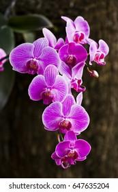 Closeup of pink orchid phalaenopsis