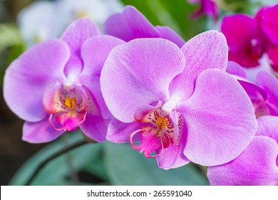 Close-up of pink orchid phalaenopsis. Bouquet of flowers orchids.
