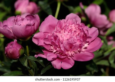 Close-up of pink peony (paeony) flower in the spring garden. Macro photography of nature.