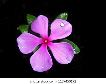 Pink periwinkle images stock photos vectors shutterstock close up of a pink periwinkle flower with water droplets in the garden mightylinksfo
