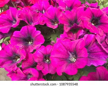 Closeup of pink petunias