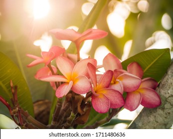 Close-up of pink Plumeria flowers with before sunset backlight.