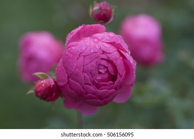 Closeup of pink pomponella rose blossom covered with morning dew in soft focus in the background