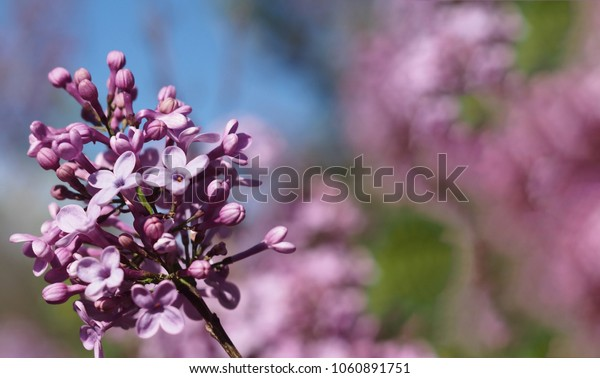 close-up pink and purple flowers in spring with a blue efect for text