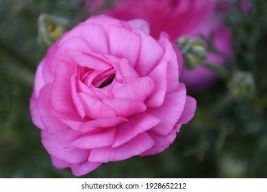 Closeup of pink Ranunculus flower