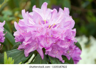 Closeup of a pink rhododendron flower with ovaries and filaments