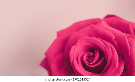 CLoseup of Pink Rose. Flower Symbol of  Love and Valentines Day