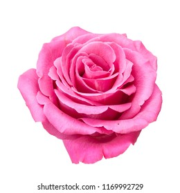 Closeup pink rose isolated on white background.