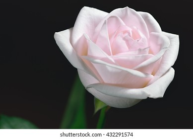 Closeup of a pink rose positioned to the left against a brown background. Top and half side view, positioned to the right.