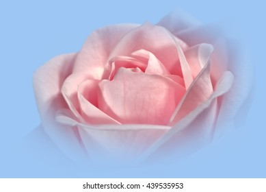 Closeup Of A Pink Rose, Soft Framed, Against A Light Blue Background 2.