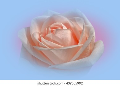 Closeup Of A Pink Rose, Soft Framed, Against A Light Blue Background 3.