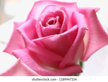 Close-up of pink rose. Tender beautiful flower on the soft white background.
