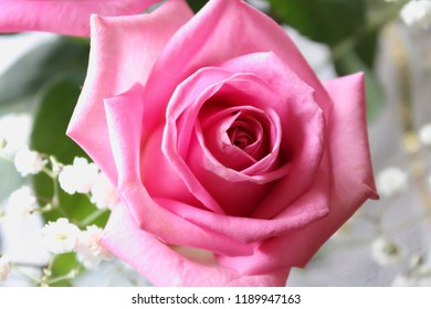 Close-up of pink rose, view from above. Tender beautiful flower on the soft background.