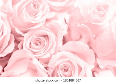 Close-up of a pink rose with water drops