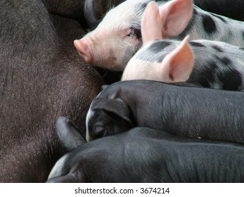 Closeup of pink speckled piglets suckling