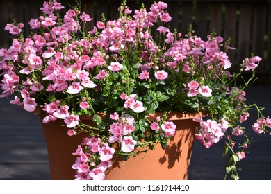 Closeup of pink summer flowers in a flower pot