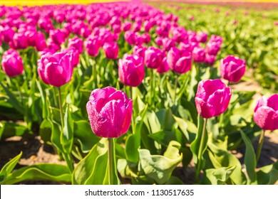 Closeup of pink tulips in a Dutch tulips field flowerbed under a blue sky