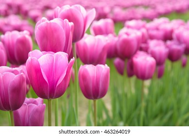 Close-up of pink tulips in a field of pink tulips
