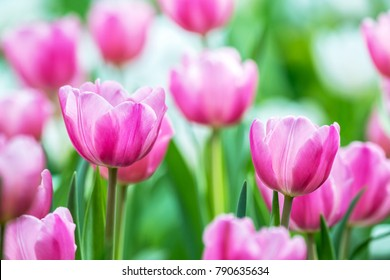 Close-up of pink tulips in a field ,pink tulips in the garden, pink tulip with bokeh.