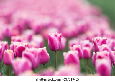 Close-up of pink tulips in a field in the Netherlands