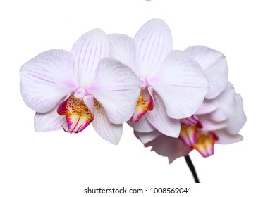 Close-up of pink white orchid phalaenopsis isolated on white.