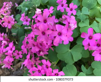 Closeup of pink wood sorrel in bloom (Lilac Oxalis), photographed in Lazio, Italy.