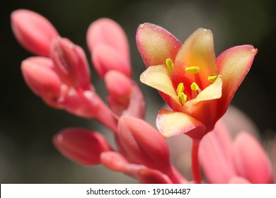 Closeup pink and yellow red yucca flower in bloom