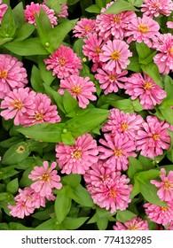 Closeup pink zinnia flower in the garden