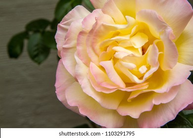 closeup of a pink-yellow Peace rose, known as Rosa Madame A. Meilland. the flower fills the frame. large petals of yellow cream color with pink edges