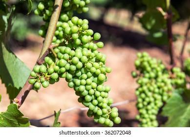 Closeup of Pinot Noir grapes near Dundee, Oregon