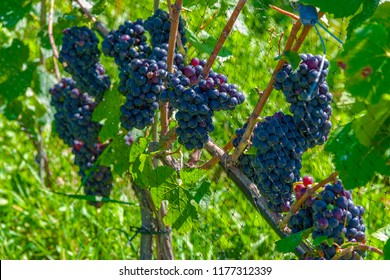 Closeup of Pinot Noir Wine Grapes on the Vine