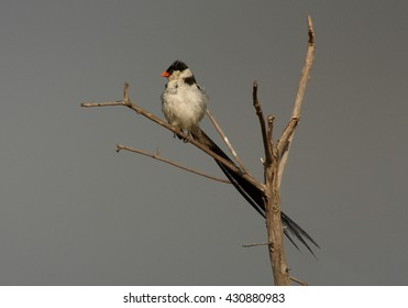 Close-up, Pin-tailed Whydah,Vidua macroura, black and white bird with very long tail, perched on twig, against grey sky, green background. Side view. Uganda, Africa.