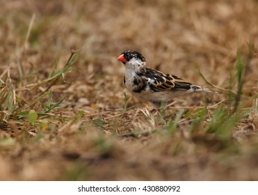 Close-up, Pin-tailed Whydah,Vidua macroura, black and white passerine with very long tail, juvenile bird  on ground looking for seeds. Ground level photography, front view. Uganda, Africa.