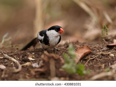 Close-up, Pin-tailed Whydah,Vidua macroura, black and white bird with very long tail,  on ground looking for seeds. Ground level photography, front view. Uganda, Africa.