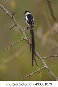Close-up, Pin-tailed Whydah,Vidua macroura, black and white bird with very long tail, perched on twig, against blurred, green background. Side view. Uganda, Africa.