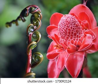 Closeup of Plant from jungle. Torch Ginger, Phaeomeria Magnifica. Amazonia, Ecuador